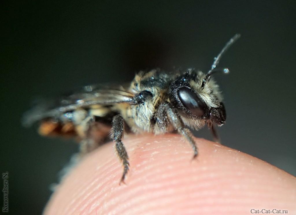 Ручная пчела у меня на руках