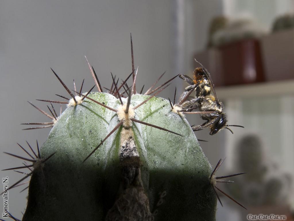 Пчела на кактусе цереусе