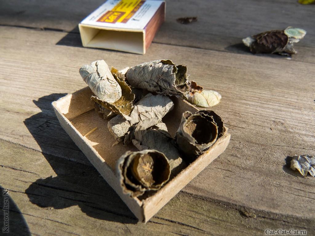 Куколки пчел