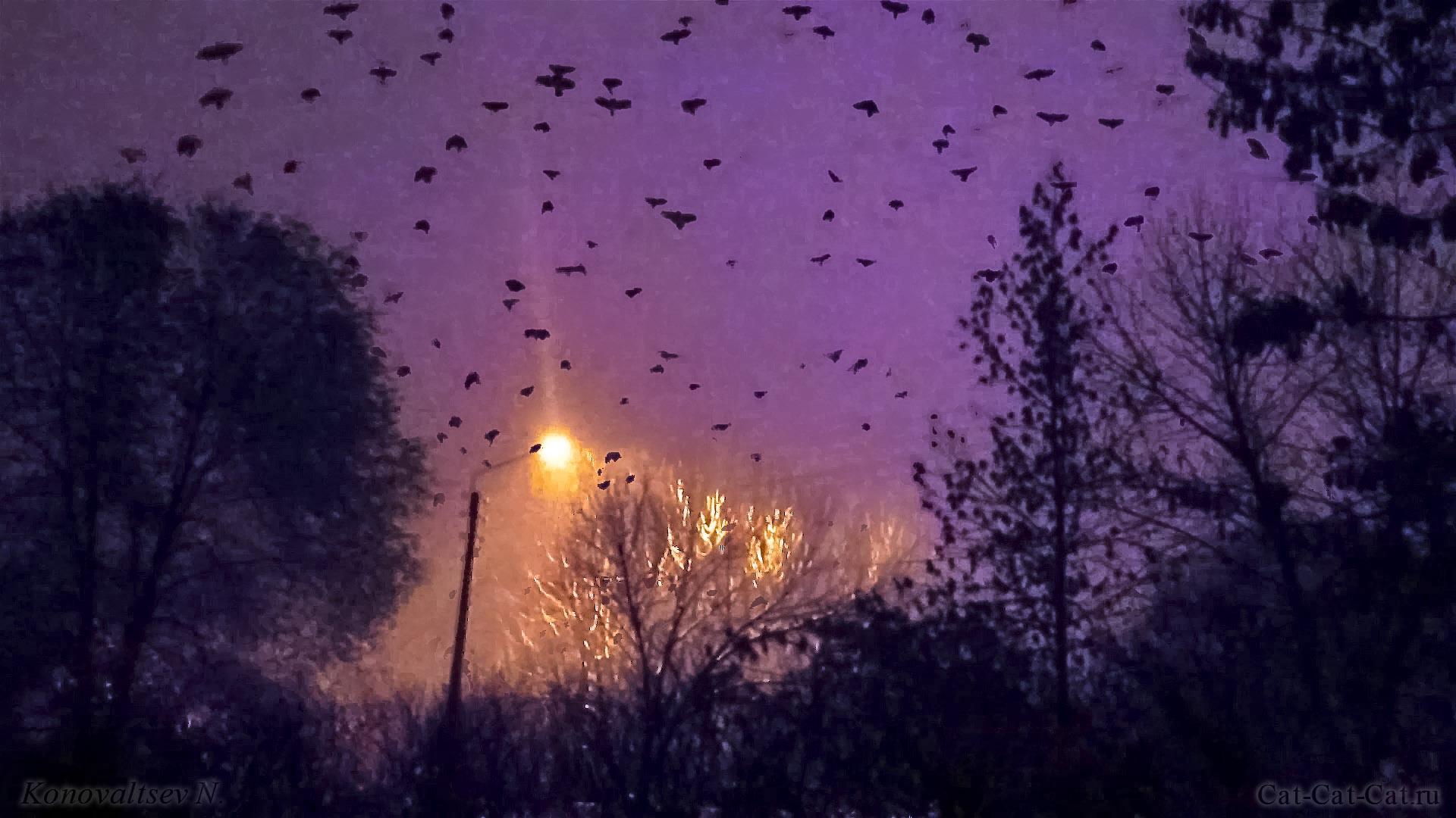 Вороны радуются снегу