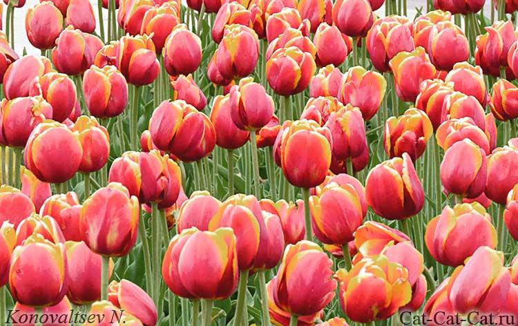 Тюльпаны в парке-заповеднике Царицыно