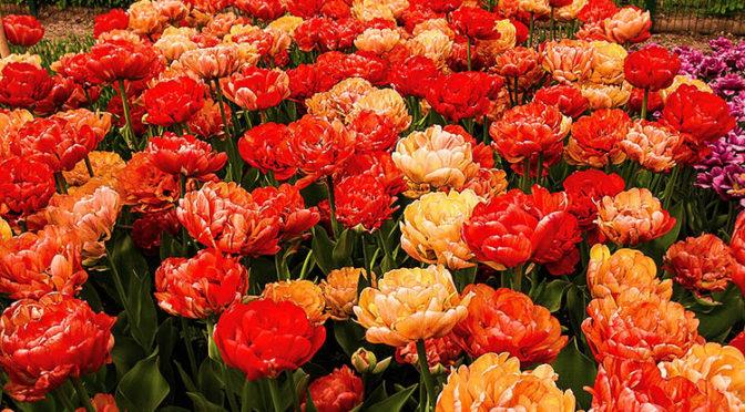 Аптекарский Огород: Фестиваль Тюльпанов